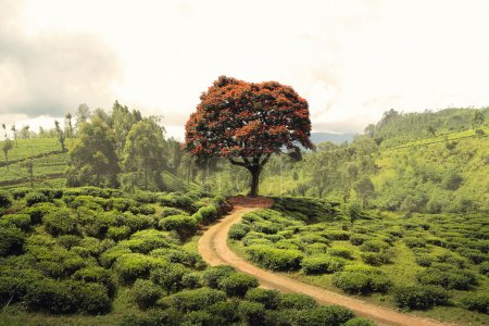 Red tree on tea plantation